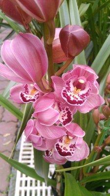 花苗-室內植物-盆栽-送禮植物-(( 虎頭蘭(三株裝)) -6吋盆- 迎春納福年節裝飾 -花花世界玫瑰園