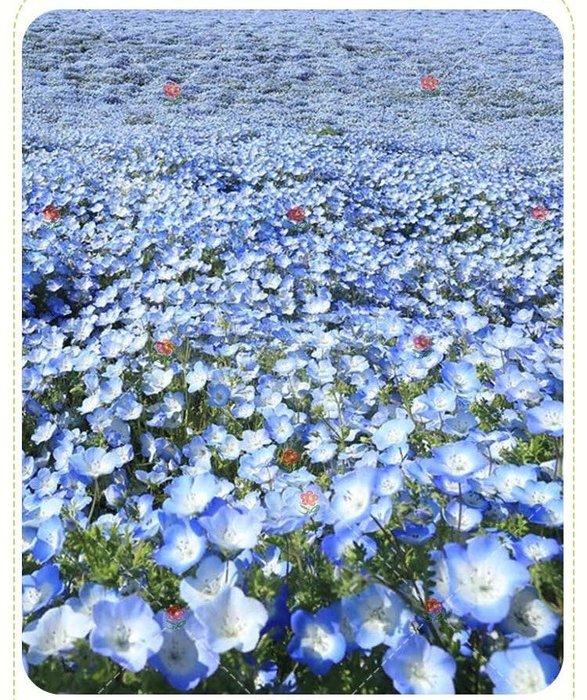 【小鮮肉肉】喜林草 丸粒化種子 10粒裝 陽台庭院盆栽花卉