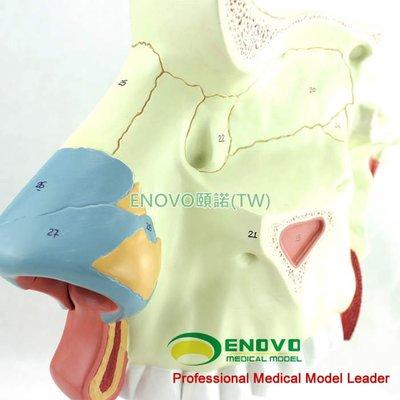 (ENOVO-084) 人體醫學鼻腔解剖模型耳鼻喉呼吸科內窺鏡隆鼻美容整形