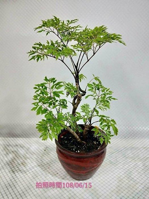 易園園藝- 羽葉福祿桐樹F8(福貴樹/風水樹)室內盆栽小品/盆景高約25公分