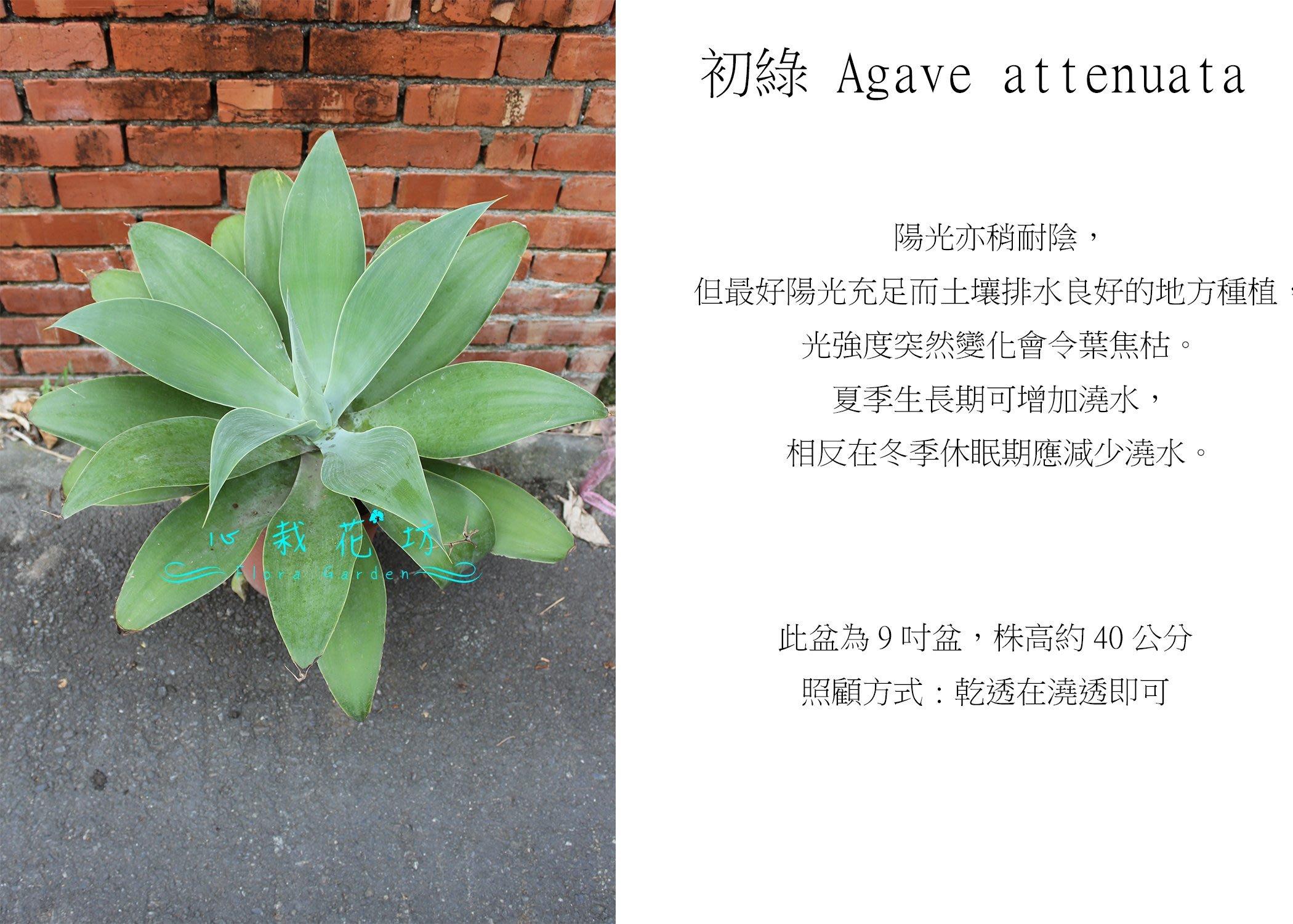 心栽花坊-初綠/翡翠盤/翠綠/龍舌蘭/9吋/觀葉植物/室內植物/綠化植物/售價700特價560