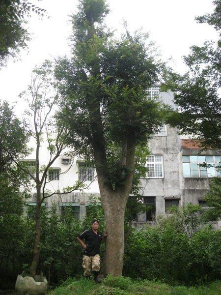 (青山園藝).紅.白雞油.紅櫸木.高度6~15米.米俓約40~60cm. 肖楠紅檜樟樹光臘九芎落羽松櫻花