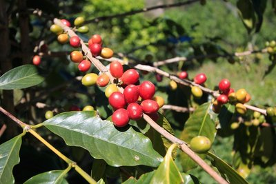 【阿里山-芙娜莊園】1磅水洗精品咖啡豆