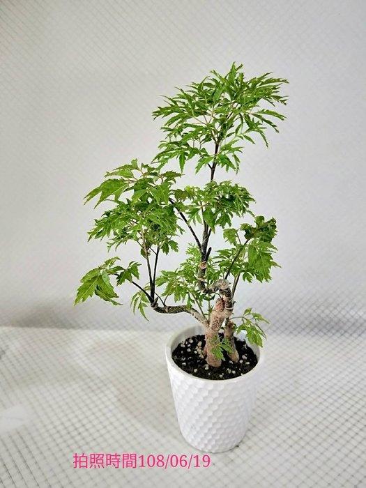易園園藝- 羽葉福祿桐樹F17(福貴樹/風水樹)室內盆栽小品/盆景高約25公分