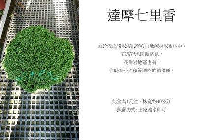 心栽花坊-達摩七里香/圓球/1尺盆/造型樹/綠籬植物/觀花植物/綠化植物/售價2800特價2200