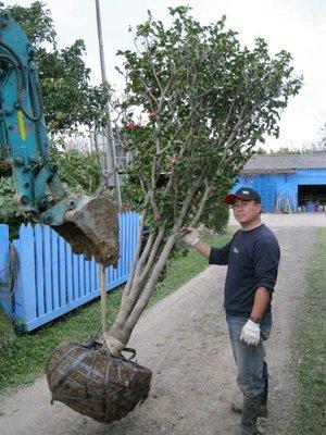 (青山園藝)茶花.頭徑約15cm.高度約2.5米.   桂花油杉黑松真柏櫻花含笑紫檀