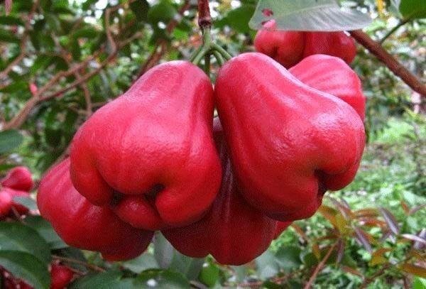 ╭*田尾玫瑰園*╯優良水果苗---(黑金剛蓮霧)--比黑珍珠還大棵