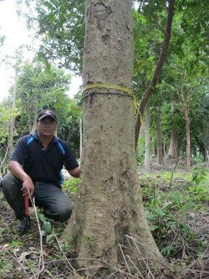 (青山園藝).光臘樹.米俓20~50cm.高度6~13米.     樟樹紫檀舉目肖楠紅檜黑松青楓