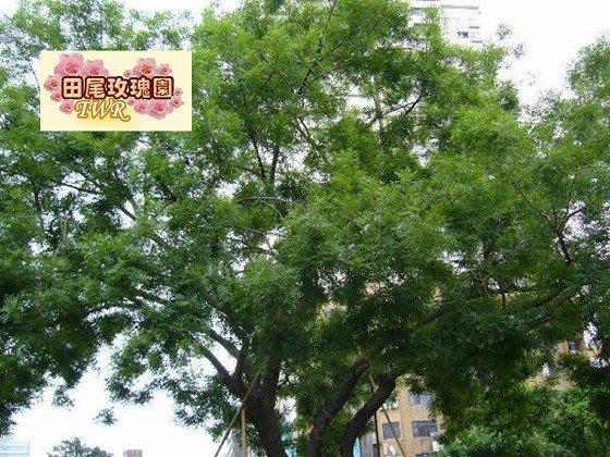 ╭*田尾玫瑰園*╯ 庭園用樹(黃連木)--木材質地細緻.為台灣一級木材