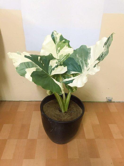 斑葉姑婆芋 小苗 雨林植物