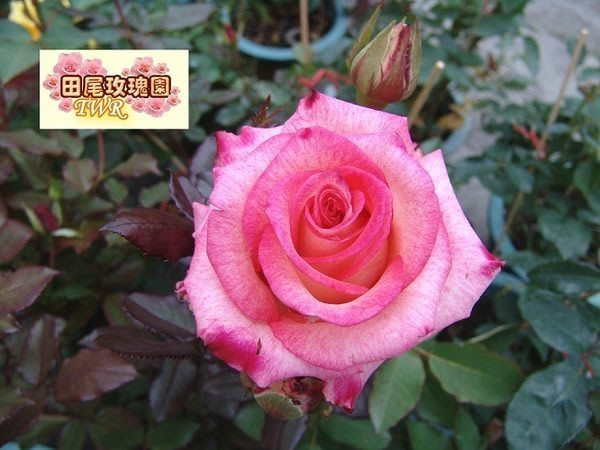 ╭*田尾玫瑰園*╯香氣植物--(玫瑰花)-可提制香精油-不挑品種