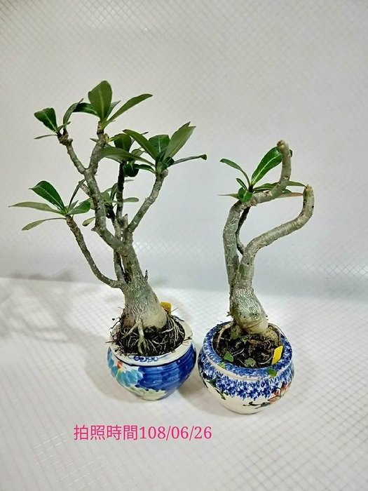 易園園藝- 沙漠玫瑰(天寶花)D2室內盆栽小品(2盆)/盆景高約30公分