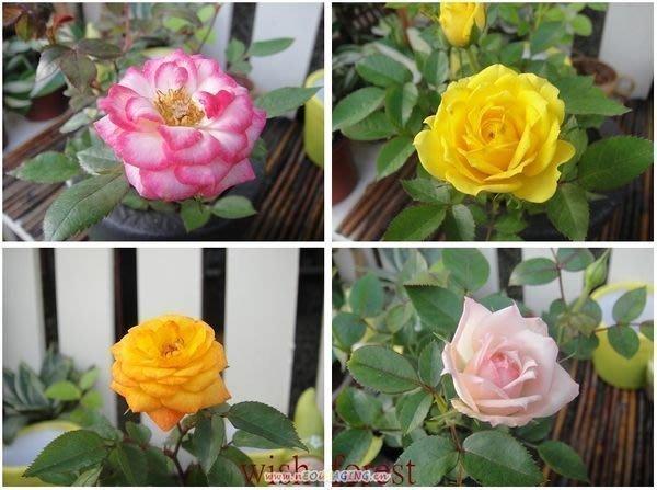 WISH FOREST【。賞花。迷您小玫瑰】迷人的小花~/浪漫/全年開花~~花色多~