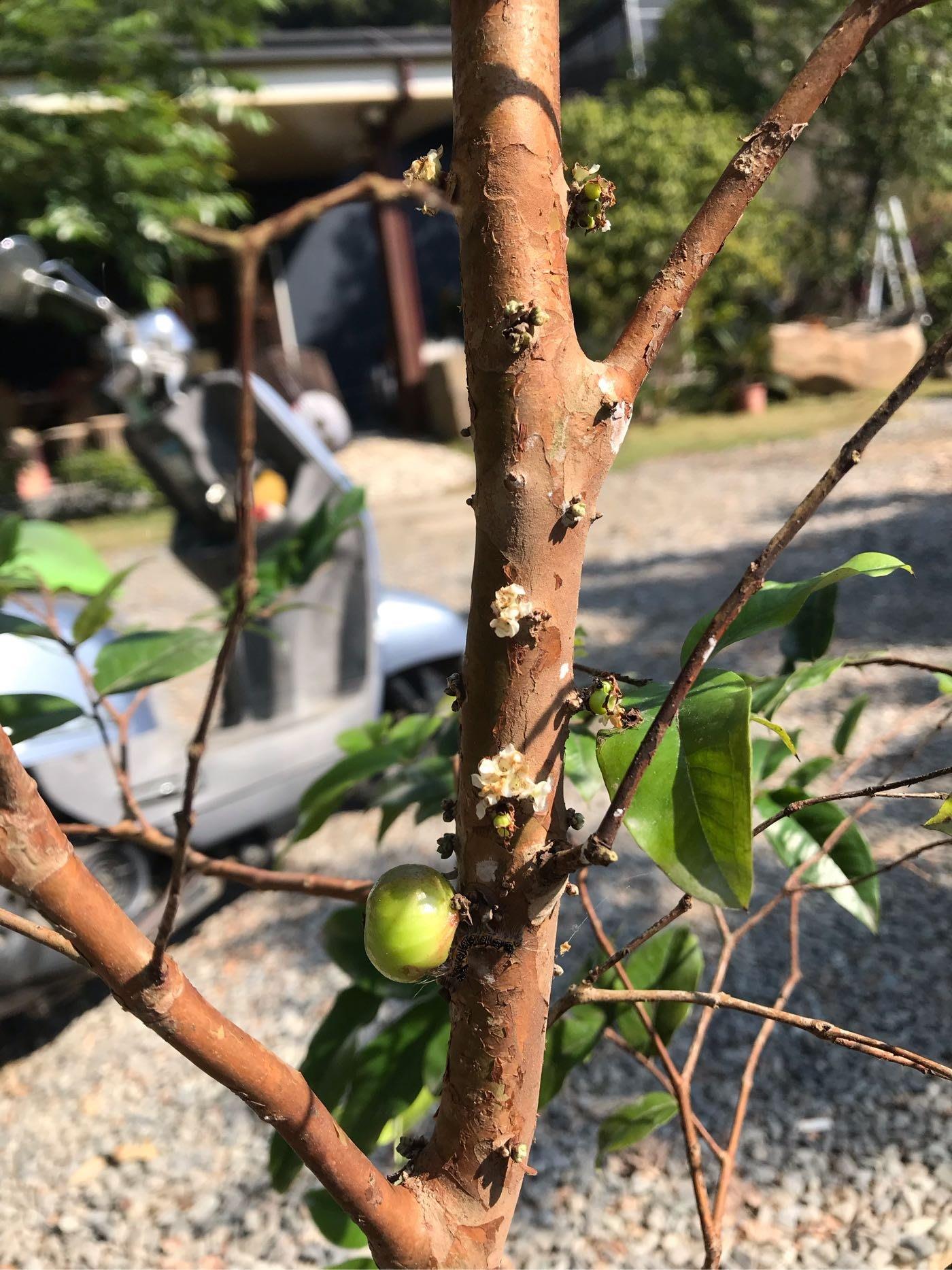 紅妃樹葡萄˙實生苗結果700