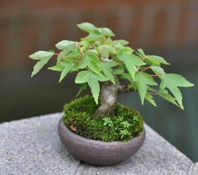 草葉集~唐楓迷你豆盆 枝幹蒼勁 形成美麗樹態 詢問度最高  日本盆