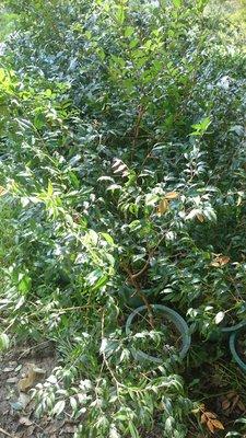 錦山苗圃阿根廷樹葡萄苗