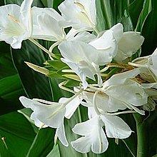花花世界_水生植物 -- 野薑花 (白) --香氣迷人可食用/ 4吋盆/高20-35cm/TS