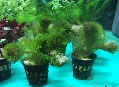 【樂魚寶】紅菊 水中葉 後景草 耐熱 不需CO2 後景 (盆)