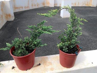 ╭☆東霖園藝☆╮日本品種---黃金倒柏(變色圓柏)黃金圓柏---葉子會隨氣候變化- 大40-50公分