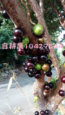 樹葡萄苗 嘉寶果2尺上下(運費自行輸入正確金額也可先問一下)自力耕作產地同業價