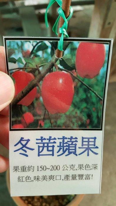 ╭*田尾玫瑰園*╯新品種樹苗-(冬茜蘋果)700元/株.歡迎詢問