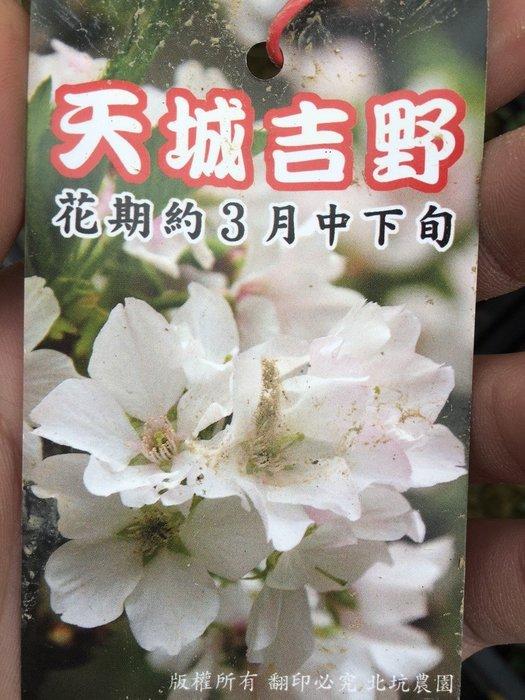 ╭*田尾玫瑰園*╯櫻花苗-(天城吉野櫻)200元/株(多種櫻花可供選擇)