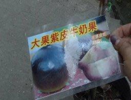 花花世界_水果苗【大果紫皮牛奶果】4吋盆/40-50cm/皮可以食用 TN