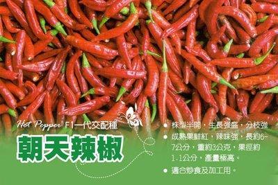 朝天椒種子  (F1 一代交配 產量高、辣味強) 朝天辣椒