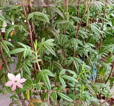 *芙菈朵森林* 園藝館 芳香萬壽菊 5吋盆 香草植物 樹苗 花苗 水果苗