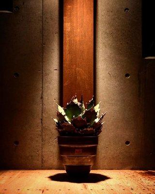 ✞ASENSERI✞ MASSES x M&M TYPE 1 CHRYSAILS  L 號大尺寸 圓形鐵鉢