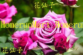 ZWF花仙子爬藤玫瑰種子5粒四季開花爬藤玫瑰花種子爬藤薔薇種子德克羅偉坦尼克粉佳人 紅雙喜海洋之歌路易十四爬藤薔薇花種子