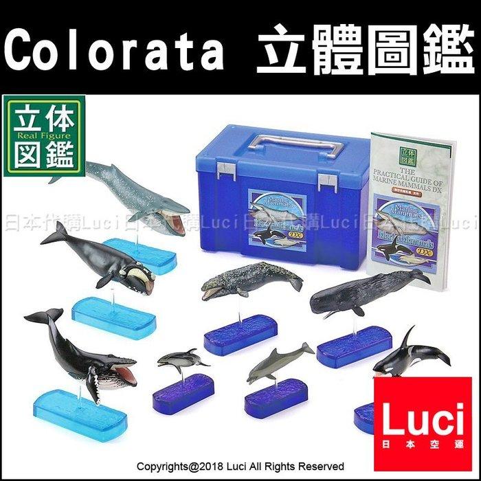 鯨魚 哺乳類 Colorata 立體圖鑑 魚類 展示 教學模型 海洋世界 生物科學 仿真 玩具模型 LUCI日本代購