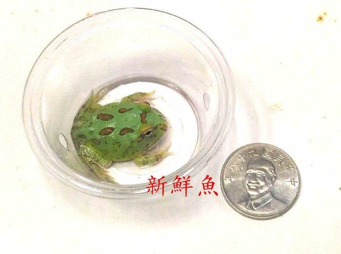 ~新鮮魚水族館~開店招財 綠 角蛙  健康 穩定 一隻