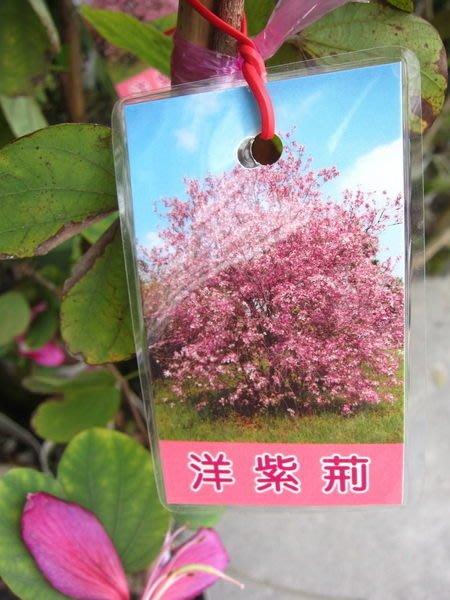 ╭*田尾玫瑰園*╯常綠喬木-(洋紫荊)--花期在秋天(11月前後)