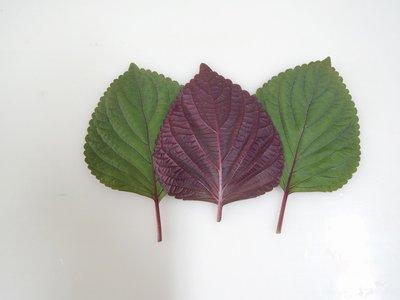 【大包裝蔬菜種子】千紅芝麻葉~ 韓國料理中不可或缺的食材,可搭配烤肉一起食用。葉片邊緣鋸齒狀,葉面綠色,葉背紫色。