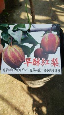 ╭*田尾玫瑰園*╯新品種水果苗-(早酥紅梨)1尺400元