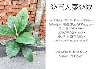 心栽花坊-綠巨人蔓綠絨/4吋/觀葉植物/室內植物/綠化植物/售價220特價200