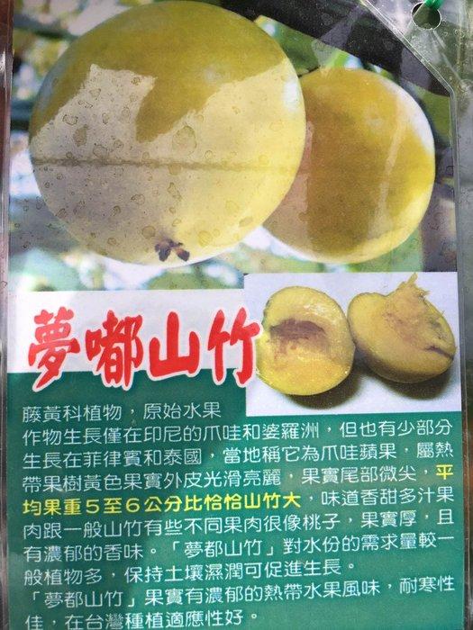 ╭*田尾玫瑰園*╯新品種水果苗-(夢嘟山竹)高40cm1800元