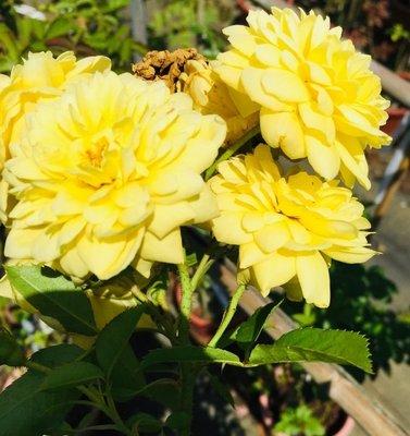 花花世界_玫瑰苗--浪漫貝爾,Belle Romantica--強香耐熱/7吋盆/高35-40公分/Tm