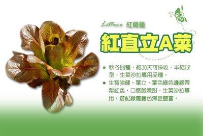紅直立A菜 紅蘿蔓種子 Lettuce 紅寶石蘿蔓 紅直立萵苣 紅羅美生菜 半結球萵苣