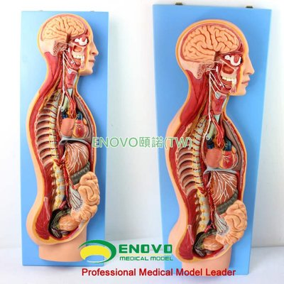 (ENOVO-079) 人體醫學交感神經系統模型自主神經系統植物性神經解剖