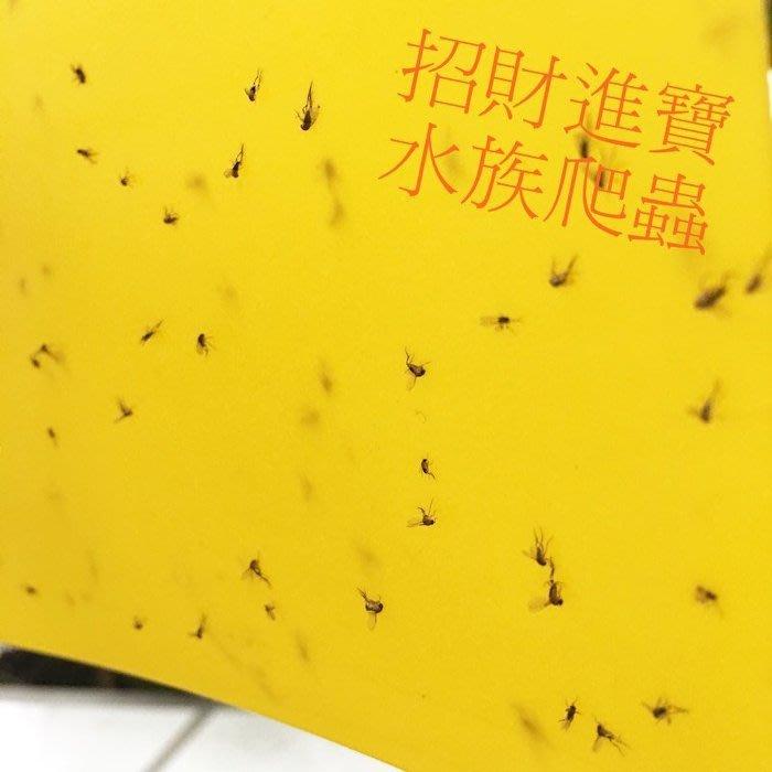 特大 40CM 黏蟲板 果蠅蒼蠅 養寵物 黏蟲紙誘蟲貼紙害蟲捕蠅紙 陸龜蜥蜴守宮 昆蟲甲蟲狗籠爬蟲箱 有機蔬菜園環保除蟲