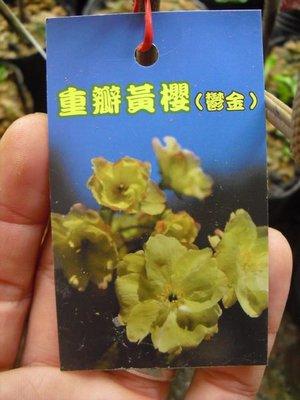 ╭☆東霖園藝☆╮日本櫻花(鬱金櫻)重瓣黃櫻..另有20多種品種.請先詢問