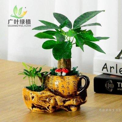 發財樹室內盆栽植物花卉盆栽觀花植物室內客廳小盆景招財樹吸甲醛