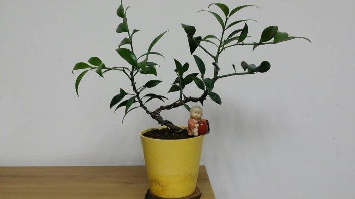 台中瘋小品-小品盆栽-竹柏-1-特價