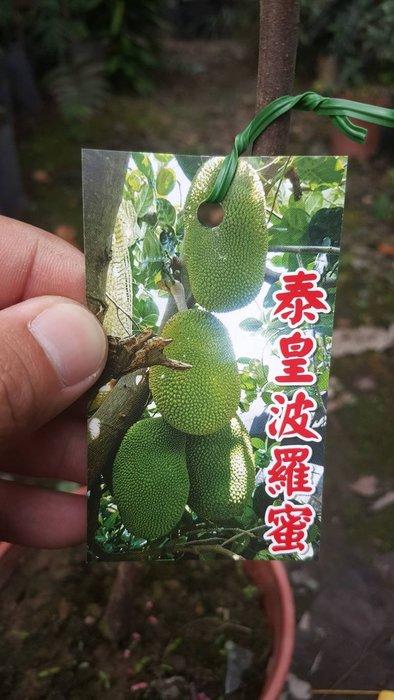 ╭*田尾玫瑰園*╯新品種水果苗-(泰皇波羅蜜)高40cm900元