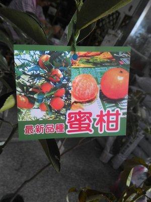 ╭☆東霖園藝☆╮水果苗(蜜柑)黃金蜜桔--- 果實媲美砂糖橘.砂糖桔