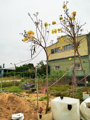 黃金風鈴木,新竹免運費,美植袋,米徑5公分,高度250公分,庭院園藝造景,大樓居家綠化,黃花風鈴木《樹精靈景觀造園》