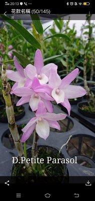 上賓蘭園  石斛蘭 D. Petite Parasol