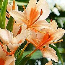花花世界_-水生植物-- 野薑花(橘)--香氣迷人可食用/4吋盆/高20-35cm/TS